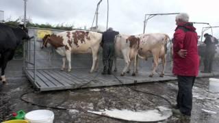 Dairy Cow Wash - Royal Highland Show (Edinburgh)