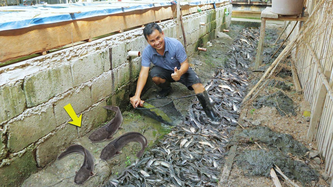 Download Amazing Native Catfish Harvest - Harvesting more than 150 Kg of Catfish│Catfish Farming business