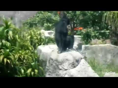 Chimpancés del zoo de Aragón, el día del sismo (19/sep/17), 13:20