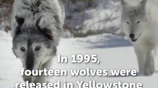 What Happened When A Pack Of Wolves Were Released In Yellowstone National Park