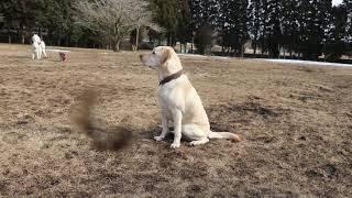 ラブラドール #ゴン太 #待つ #健気 #飼い主 #犬 #ドッグラン.