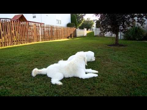 LEO THE GOLDENDOODLE THROWS A TANTRUM