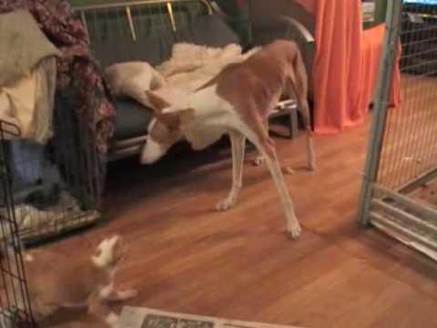 Juno's Ibizan Hound pups: 7w