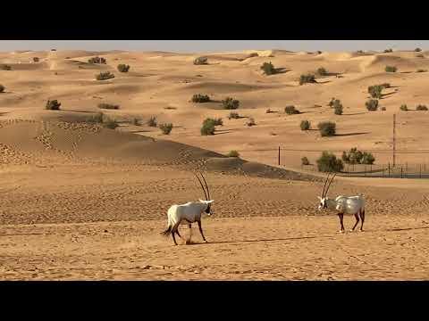 Oryxes in Dubai Desert Conservation Reserve.