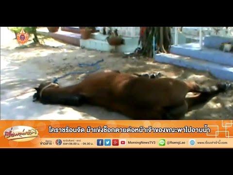 เรื่องเล่าเช้านี้ โคราชร้อนจัด ม้าแข่งช็อกตายต่อหน้าเจ้าของขณะพาไปอาบน้ำ (21 เม.ย.58)