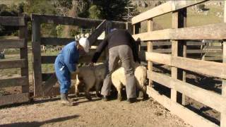 DNA Technology - Changing the Face of New Zealand Sheep Farming