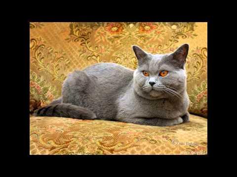 Шартрез, или картезианская кошка (Chartreux cat) породы кошек( Slide show)!