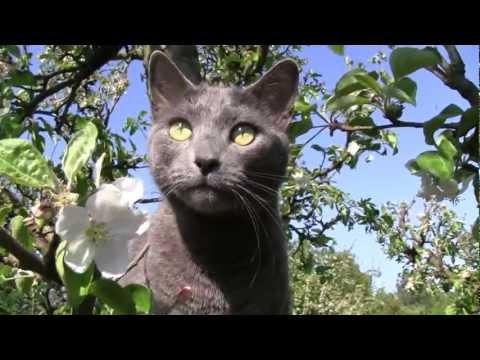 Russian blue cat / Cannon Lergia [ HD ]