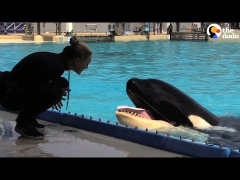 Kasatka the Orca Dies At SeaWorld | The Dodo