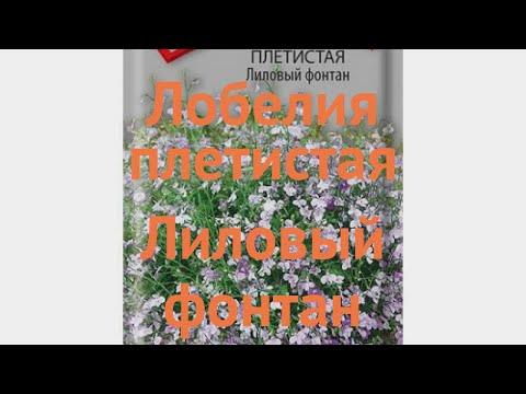 Лобелия плетистая Лиловый фонтан (lilovyy fontan) 🌿 обзор: как сажать, семена лобелии Лиловый фонтан