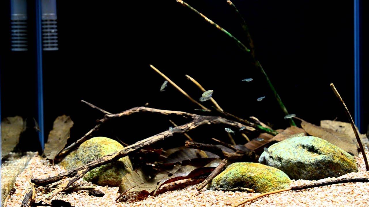 Freshwater fish korea - Biotope Aquarium For Korean Freshwater Fish