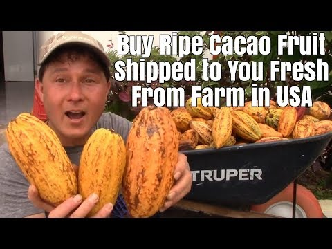 Buy Ripe Cacao Fruit From The USA For $3/lb Make Your Own Raw Chocolate Recipes