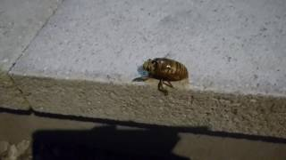 車に忘れ物取りに出たら セミの幼虫歩いてました。 元の動画に適当にフ...