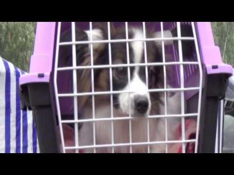Папильон (собака) - описание, фото, цена, уход и