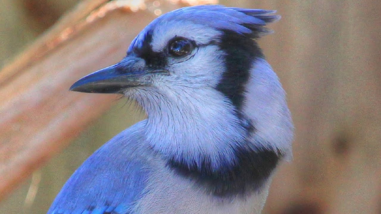 Unusual Melodious Blue Jay Song Youtube