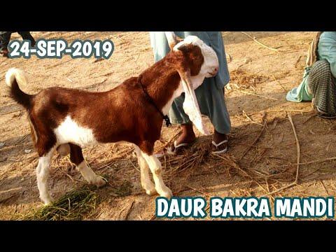 Daur Goats Market Sindh