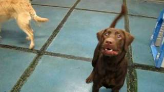 Chocolate Lab And Ball At Doggie Oasis Day Care In Las Vegas, Nv