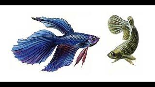 бойцовая рыбка петушек