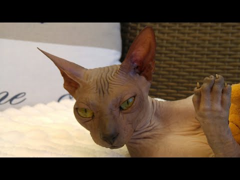 Cutest sphynx cat 'Chikita' / DonSphynx /