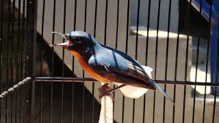 Suara Tledekan Bakau Gacor Terbukti Ampuh Untuk Pikat Pancingan Sikatan Sulingan Bahan Agar Bunyi