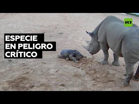 Nace una cría de rinoceronte negro en un zoo de Australia