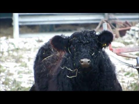Ostfriesland Winter im Hammrich Galloway Herde Rinder schwarze Lockenrinder Black Cattle