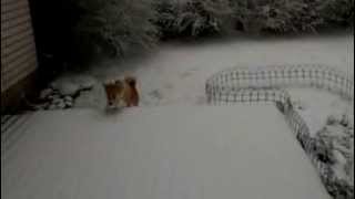 Welsh Corgi Puppy Sees Snow For The First Time