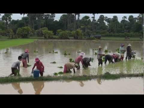 Cambodge et culture riz