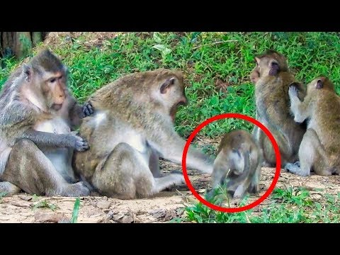Why Mom Angry Baby Monkey, she just want to gets milk