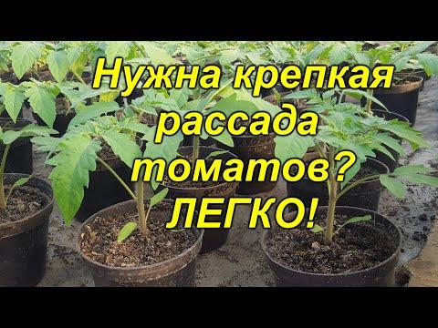 Рассада томатов будет крепкой и приземистой (проверено лично!) | выращивание | рассадник | вырастить | помидоры | рассады | рассаду | рассада | правиль | крепкая | томаты