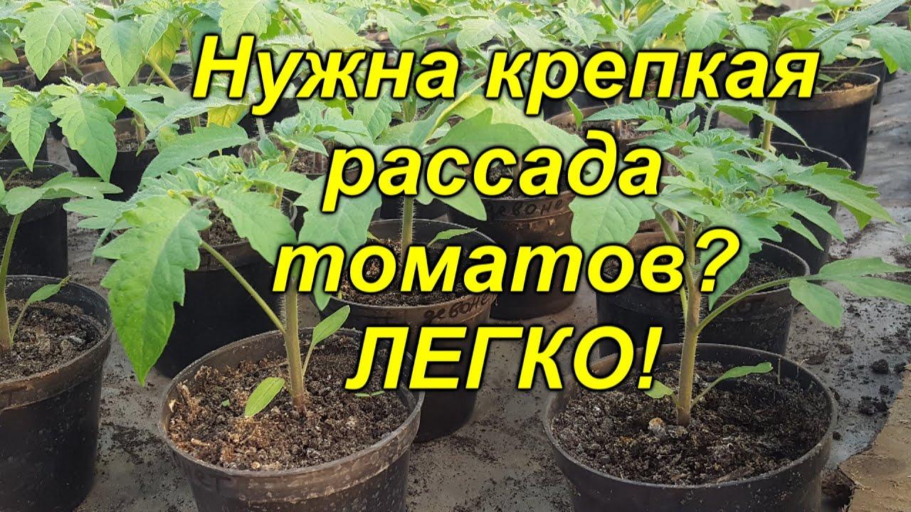 Рассада томатов будет крепкой и приземистой (проверено лично!)