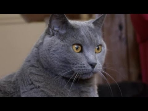 Cats 101 - Chartreux