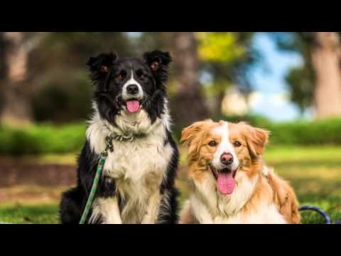 Coby and Sadie the Border Collies in Williamstown | Ragamuffin Pet Photography