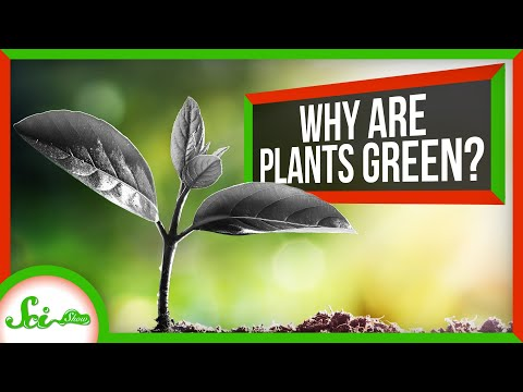 Why Are Plants Green Instead of Black?
