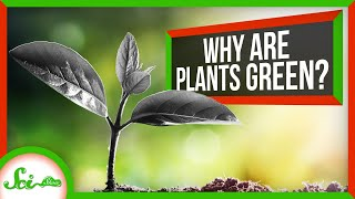 SciShow: Why Are Plants Green? thumbnail