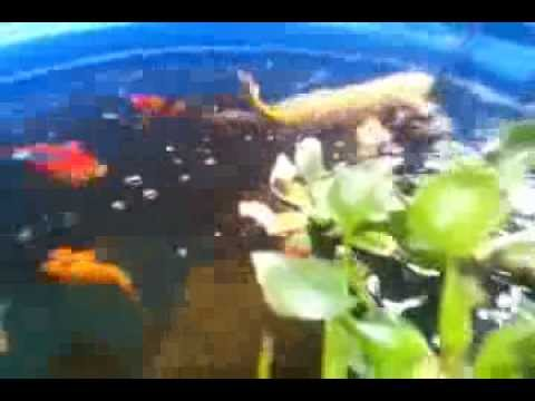 Aquaponics koi pond youtube for Koi aquaponics
