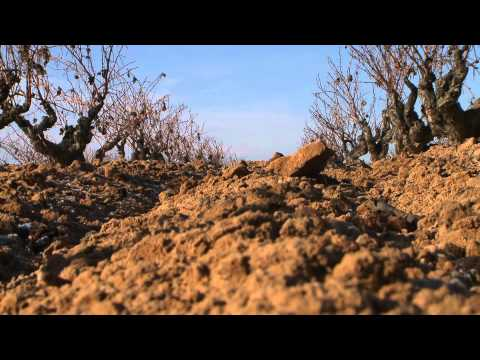 El viñedo de Bodegas Hnos. Pérez Pascuas - Todovino.com