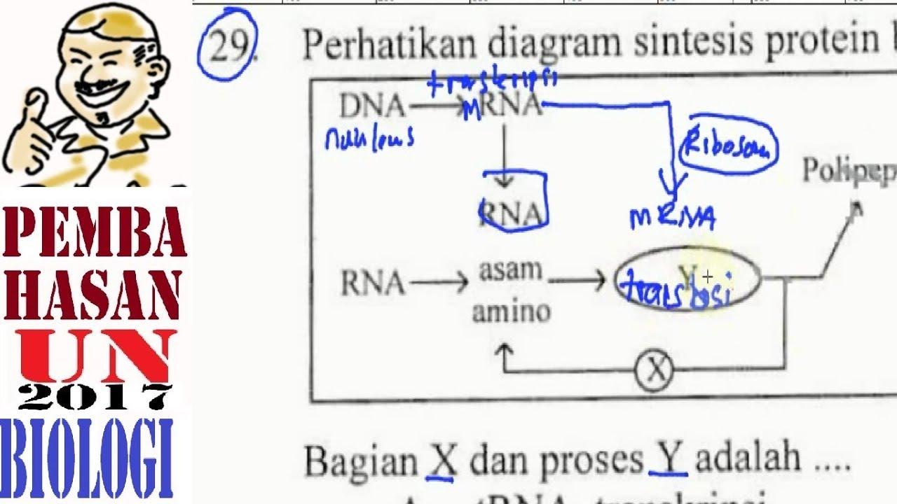 Un sma 2017 biologi pembahasan no 29 sintesis protein youtube un sma 2017 biologi pembahasan no 29 sintesis protein ccuart Image collections
