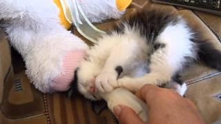 Feeding a kitten. Кормление котенка.