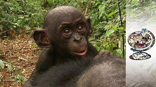 Protecting Congo's Free-Loving Bonobos (2010)