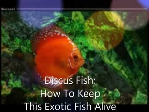 About Discus Fish Care Tips For Discus Fish Symphysodon