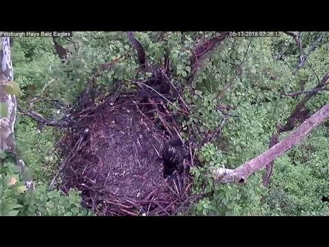 Hays Bald Eagles Live Stream