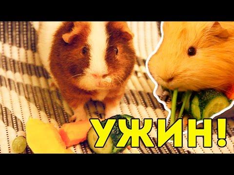 Что едят морские свинки? Сочный корм / SvinkiShow