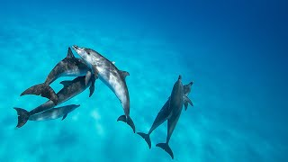 Incredible Dolphin behaviour - Above and Below - ( On the Great Bahama Bank )
