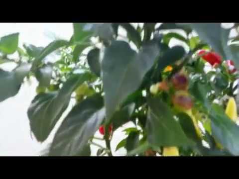Innesto della melanzana su solanum torvum doovi for Melanzane innestate