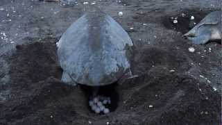 Arribada: Oliver Ridley Turtles at Playa Ostional Part II