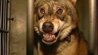 Волки / Один день. Новая версия,  2006 г.