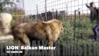 Lion Balkan Master caucasian shephard ovcharka