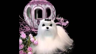 Storybook Maltese Puppies For Sale