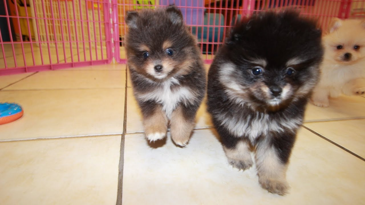 Pomeranian, Puppies For Sale, In Greenville, County, South ...